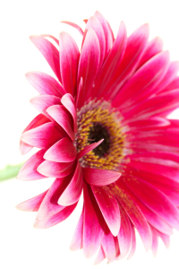 Gerbera Daisy - Nurture your plants! www.activatedoxygentherapy.com from Unique Perceptions